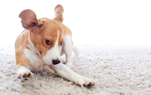 Pet Odor & Stain Treatment